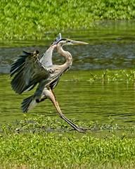 Landing Gear (brev99) Tags: pond ngc landing greatblueheron crescentpark d7100 topazdenoise topazdetail tamron70300vc highqualityanimals