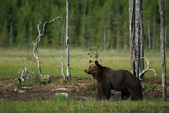Ours brun - Brown Bear (Finlande) (Samuel Raison) Tags: bear nature finland nikon wildlife ours brownbear finlande kainuu kuhmo oursbrun animauxsauvages nikontc14eii wildbrownbear nikond3 nikon4200400mmafsgvr