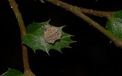 Arkys alatus (dustaway) Tags: nature leaf rainforest australia camouflage nsw arthropoda rotarypark arachnida lismore araneae araneomorphae australianspiders ulmaceae northernrivers crypsis ambushhunter aphananthephilippinensis arkysalatus wingedarkys arkyidae