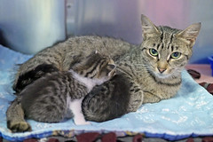 Mama & Babies_07 (AbbyB.) Tags: mtpleasantanimalshelter easthanovernj newjersey shelter pet rescue adopt petphotography shelterpet cat kitten momandkittens babies kitty