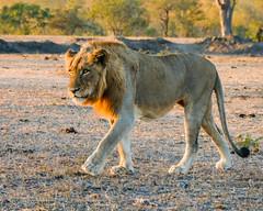 Walking (MarcCooper_1950) Tags: lion lioness africa wild wildlife bush safari bigfive predator bigcats biggame animals feline fauna goldenhour sabisands arathusa lodge marccooper panasonic lumix fz1000 leica iightrrom hdr
