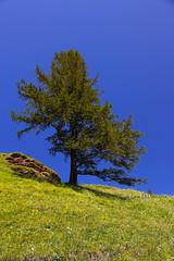Alpe Veglia (Gina.DiDato) Tags: alpeveglia piemonte montagna albero natura