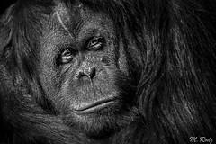 Sad look (Marcel Rodz) Tags: 2003 california white black blanco look animal zoo monkey nikon san sad y negro diego 300mm monocromatic orangutan d100 mirada zoologico rodz rodriguezpuebla