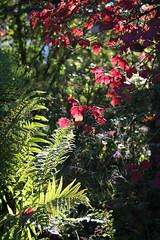 ckuchem-5452 (christine_kuchem) Tags: herbst garten farn bunt farben leuchten herbstgarten