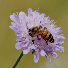 IMGP5401  Bee on Scabious, Devil's Dyke (Reach, Cambs), July 2016 (bobchappell55) Tags: insect bee devilsdyke cambridgeshire grassland scabious