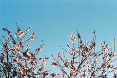 (envee.) Tags: 35mm still shoot film is dead asahi pentax spotmatic fujifilm fuji superia 200 iso photography analogue camera cherry blossom spring melbourne 2015 september sep