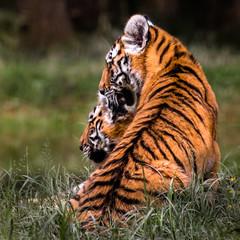2 frres, 1 direction (Coeur tranger) Tags: tigre tiger flins animal baby bb wildlife bokeh nature natureza cumplicidade complicit complicity amiti amizade friendship profondeurdechamp
