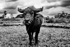 Buffalo (francois werner) Tags: voyage laos animaux vaches 2016