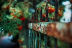 berry teal (ewitsoe) Tags: blue red summer green 35mm fence bush berry rust colorful iron europe day berries teal eu poland rusted rusting wrought hff wlodawa nikond80 fencefriday ewitsoe