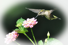 Hummingbirds and flowers (picturesinmylife_yls) Tags: flowers nature hummingbird