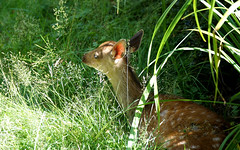 """Mum told me to wait here... (SteveJM2009) Tags: uk light summer sun waiting young july deer hidden fawn shade dorset youngster sika stevemaskell undergrowth 2016 cervusnippon longthorns"