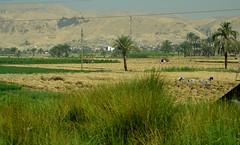 Los trabajos y los das (chemakayser) Tags: luxor egypt egipto nilo cosecha