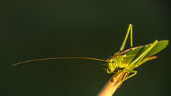 the green grasshopper (bocero1977) Tags: bokeh eye wildlife macro feeler locust nature grasshopper animal colors green insect antenna outdoor light