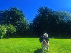 Winston enjoying the sun (jwhiteireland) Tags: loyal winston pet dogs spaniel