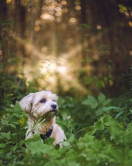 Kippie The Grass Eater (Naetrogen) Tags: sunshine summer sunset forest travelling tree flowers dog puppy portrait outdoor sweden europe bichonhavanese fujinordic fujifilm xt1 helios442 depthoffield bokeh swirl animal pets beautiful cute