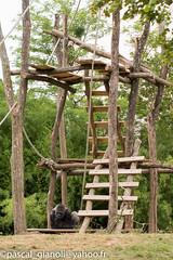 DSC_1970 (Pascal Gianoli) Tags: beauval gorilla gorille zoo zooparc saintaignansurcher centrevaldeloire france fr pascal gianoli pascalgianoli