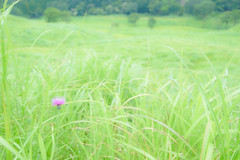 5Tonomine Highland (anglo10) Tags:   flower  field  japan