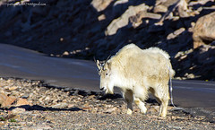 mt Evans Colorado (Pattys-photos) Tags: mt evans colorado woodchuck mountaingoat