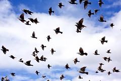 murmuration (Martin P Perry) Tags: birds flock starlings murmuration flight flying