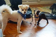 (Prairie_Wolf) Tags: dog bostonterrier puppy rachelmackayphotography calgary