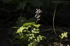 """Foamflower • <a style=""""font-size:0.8em;"""" href=""""http://www.flickr.com/photos/63501323@N07/28742797405/"""" target=""""_blank"""">View on Flickr</a>"""