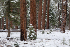 Winter Weather in Evergreen Forest (Free Roaming Photography) Tags: americansouthwest arizona arizonatrail aspentrees coloradoplateau desertsouthwest evergreentrees kaibabnationalforest kaibabplateau northernarizona pineforest ponderosapinetrees snow snowstorm snowfall snowing sprucetrees treetrunks winterweather jacoblake unitedstates