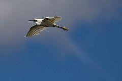 Little Egret (warren hanratty) Tags: wadingbird littleegret twitchersgate cotswoldwaterpark gloucestershire egrettagarzetta warrenhanrattyphotography