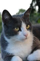 Rosy (ELENA TABASSO) Tags: gatto gatti cat cats animale animali animal animals