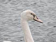 Juvenile swan (deannewildsmith) Tags: earthnaturelife swan bartonmarina cygnet bird