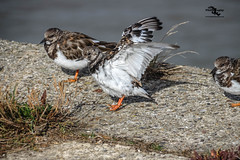 Turnstone (Sammy SJN Photography) Tags: turnstone uk bird outdoor beautiful nature sea canon sigma