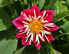 another dahlia............... (Suzie Noble) Tags: dahlia flower purpledahlia flowers strathglass struy