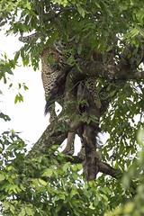 Mamá Leopardo e hijo subiendo un ñu al arbol (magomu) Tags: leopard leopardo masaimara kenia kenya africa baby ñu wildebeest