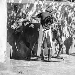 Tiempo de bao II (Alvimann) Tags: alvimann canon canoneos550d canon550d canoneos gente man men people hombre male hombres cow cattle ganado cows hat hats sombrero sombreros boina boinas beret blackandwhite black negro white blanco blancoynegro