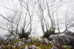 foggy forest with creepy trees (Mimadeo) Tags: morning trees light mist misty fog mystery forest landscape scary gloomy magic foggy creepy fairy fantasy mysterious horror trunk nightmare unreal magical twisted beech