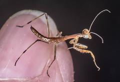Still here the next day (ScreaminScott) Tags: macro insects prayingmantis mantid