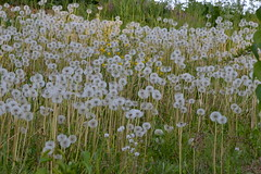 i soffioni (ELENA TABASSO) Tags: landscape paesaggi prato paesaggio soffioni