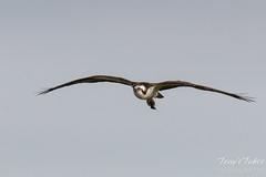 Osprey flyby