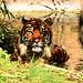 Male Sumatran Tiger, Guntur in Water