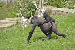 DSC_6637 - Western lowland gorilla (102er) Tags: uk nature animal animals fauna zoo nikon wildlife tamron blackpool 70300 d3100