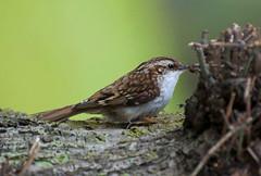 Treecreeper (jonny.andrews65) Tags: bird nikon wildlife bangor northernireland vr countydown 70300 treecreeper d90
