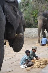 DSC_0167_2 (drs.sarajevo) Tags: india karnataka madikeri kaveririver dubareelephantpark