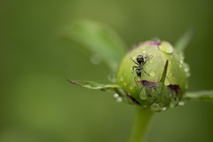 Have a drink (Erazzphoto) Tags: flower macro green water insect bokeh ant