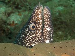 Murne Tachete (denis.fiel) Tags: dominique poisson antilles dominica carabes murne rcif
