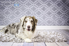 Reuben in the studio (sharper43) Tags: dog pet pets white dogs studio grey dallas highkey aussie australianshepherd aussies dogphotography petphotography dogportrait redmerle professionaldogphotography studiodog professionalpetphotography stephanieacosta dogpetphotographystephanieacosta lemondropshopbackdropfloordrop