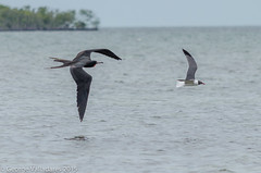 Frigate Bird and Laughing Gull (gvall66) Tags: bird frigate magnificent