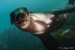 Sea lions at Wilsons Prom (Liz_Rogers) Tags: ocean sea photography underwater image scuba diving lions reef wilsons promontory featured