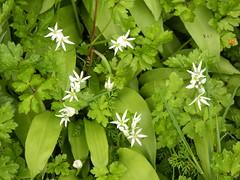 Ramsons (nz_willowherb) Tags: garden see scotland spring tour perthshire visit ramsons killin wildgarlic alliumursinum woodgarlic to go broadleavedgarlic