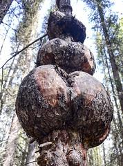 Big Bowls 2 (Shane Sadoway) Tags: wood tree nature forest bole