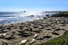Elephant seals near San Simon (lasse christensen) Tags: dsc5644 usa california highway1 highwayone elephantseals elefantseler sansimon