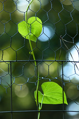 Climbing Squash Plant Leaves (Maggggie) Tags: plant green fence garden wire fencefriday